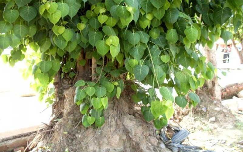 क्या आप जानते है पीपल वृक्ष की 108 परिक्रमा लगाने के फायदे